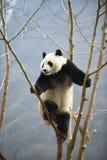 在卧龙四川瓷的大熊猫 库存照片