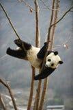 在卧龙四川瓷的大熊猫 免版税图库摄影