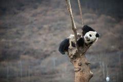 在卧龙四川瓷的大熊猫 图库摄影