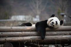 在卧龙四川瓷的大熊猫 免版税库存图片