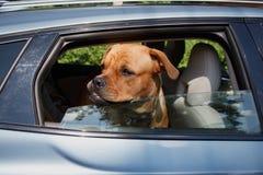 在卫兵和黏附头的狗在车窗外面 库存照片
