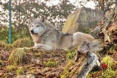 在卫兵的狼 免版税库存照片