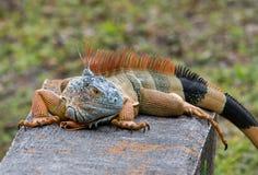 在卫兵的鬣鳞蜥 免版税库存照片