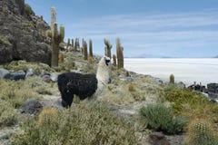 在印加瓦西峰海岛,撒拉族de Uyuni的骆马 库存照片
