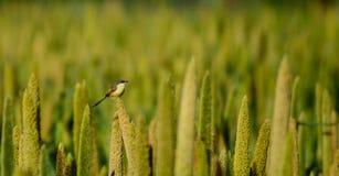 在印地安农场的鸟 库存图片