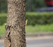 在印地安软木树的一个变色蜥蜴动物 库存图片