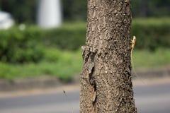 在印地安软木树的一个变色蜥蜴动物 免版税库存照片