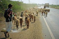 在印地安高速公路的家畜 免版税库存照片