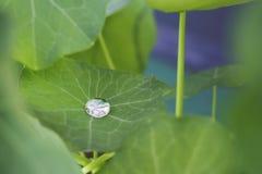 在印地安水芹,金莲花属majus的唯一露滴 免版税库存照片