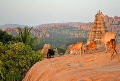 在印度寺庙前面的圣牛 库存照片