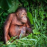 在印度尼西亚语婆罗洲的猩猩男性 免版税库存照片