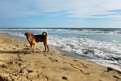 在印度洋的岸的一条狗 免版税库存图片