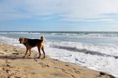 在印度洋的岸的狗 免版税库存图片