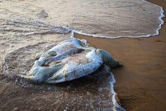 在海滩的一只死的乌龟 库存图片