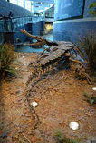 在印第安纳波利斯儿童的博物馆的Sarcosuchus骨骼  库存图片