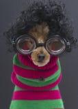 在卷毛,玻璃,圣诞节条纹的长卷毛狗 免版税图库摄影