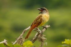 在厄瓜多尔的海岸的金黄被加冠的捕蝇器 免版税库存图片