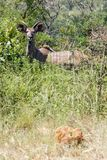 在厚实的灌木中的年轻Kudu公牛 免版税库存照片