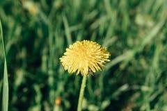 在厚实的草中的黄色蒲公英 免版税库存照片