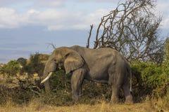 在原野察觉的大象 免版税库存图片