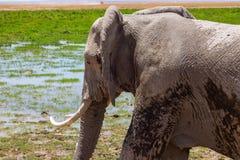 在原野察觉的大象 库存照片