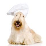 在厨师的帽子的苏格兰狗 背景查出的白色 库存图片