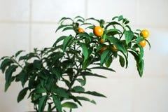 在厨房墙壁的圣诞节樱桃 图库摄影