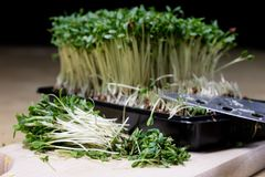 在厨房用桌上的水芹新芽 在一个木板切的草本 免版税图库摄影