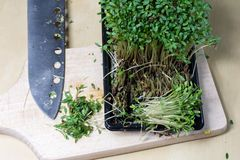 在厨房用桌上的水芹新芽 在一个木板切的草本 库存图片