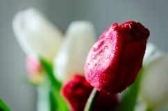 在厨房背景的新鲜的白色和红色郁金香 从丈夫,人的礼物 Copyspace 免版税图库摄影