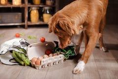 在厨房里尾随新斯科舍鸭子敲的猎犬,食物在桌上 图库摄影