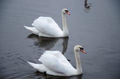 在及早冷水的一只或许多天鹅 免版税图库摄影