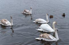在及早冷水的一只或许多天鹅 图库摄影