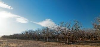 在双突透镜的云彩下的杏仁果树园在倍克斯城加利福尼亚附近的中央加利福尼亚 库存图片