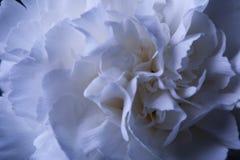 在反射的花瓶的一朵白色康乃馨花用水 库存图片
