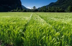 在发光泽绿色的麦田和与后边拖拉机轨道和森林的轻微的风 免版税库存图片
