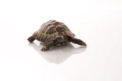 在发光的白色地板上的希腊土地草龟陆龟Hermanni 免版税库存图片