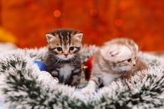 在发光的背景的两只滑稽的苏格兰小猫 库存图片