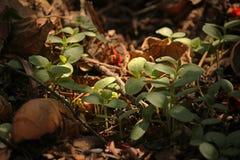 在发芽在天然肥料堆的幼木的光 图库摄影