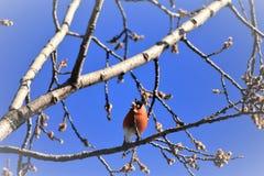 在发芽的树的一个红腹灰雀 免版税库存图片