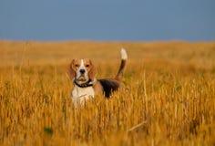 在发茬麦田的小猎犬狗 库存图片