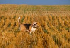 在发茬麦田的小猎犬狗 免版税库存图片
