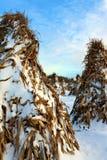 在变干在冬天期间的圆锥形帐蓬形状的玉米身分在与新鲜的雪的日落 库存图片