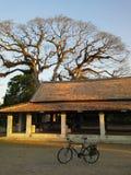 在古庙的Bif树 免版税库存照片