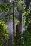 在古老冷杉&雪松后的早晨薄雾 免版税库存照片