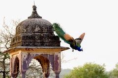 在古老印地安结构旁边的孔雀飞行 免版税图库摄影