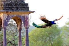 在古老印地安结构旁边的孔雀飞行 库存照片