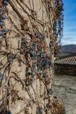 在古老城堡墙壁上的干藤葡萄 酿酒厂装饰、蓝色莓果和分支没有叶子 免版税库存照片