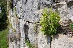 在古老城堡老灰色石砖墙上的布什  库存照片