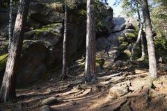 在古老小山和石头中间的长的杉树 免版税库存照片